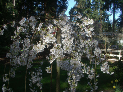 Easter Cherry Blossoms Hypnosis Health Info